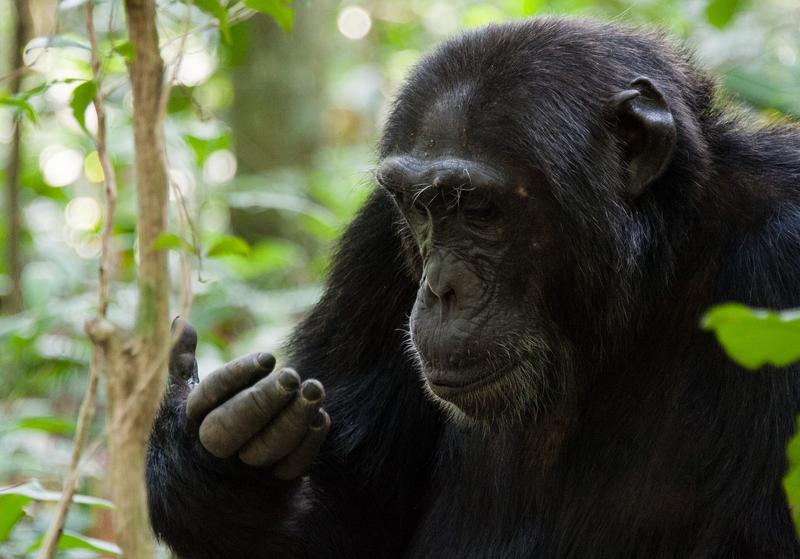 Chimpanzee at Kibale Forest