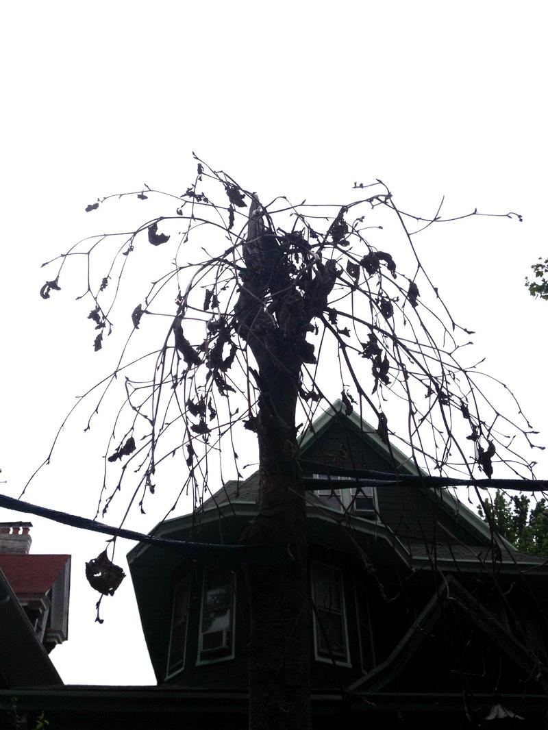 Dead street tree in Brooklyn. Between 7 and 12 percent of street trees die within two years of planting.