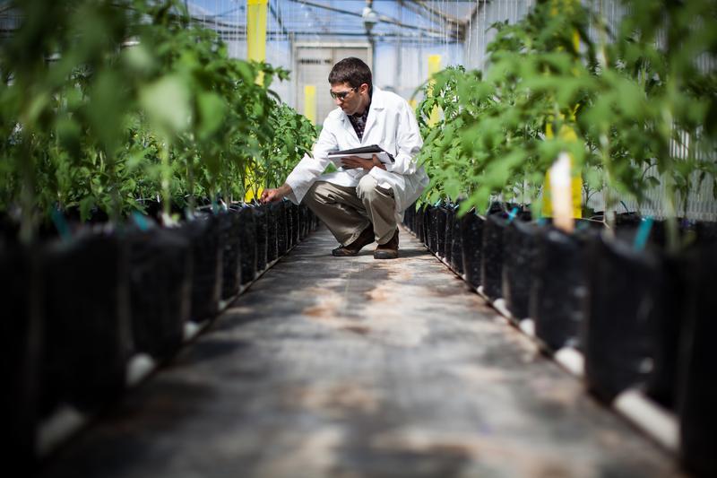 Monsanto tomato breeder Alan Krivanek checks on tomato plants he's breeding in a Monsanto greenhouse.