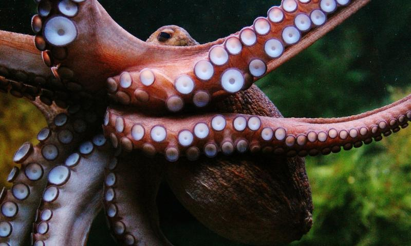 Octopuses have human-like curiosity according to Peter Godfrey-Smith