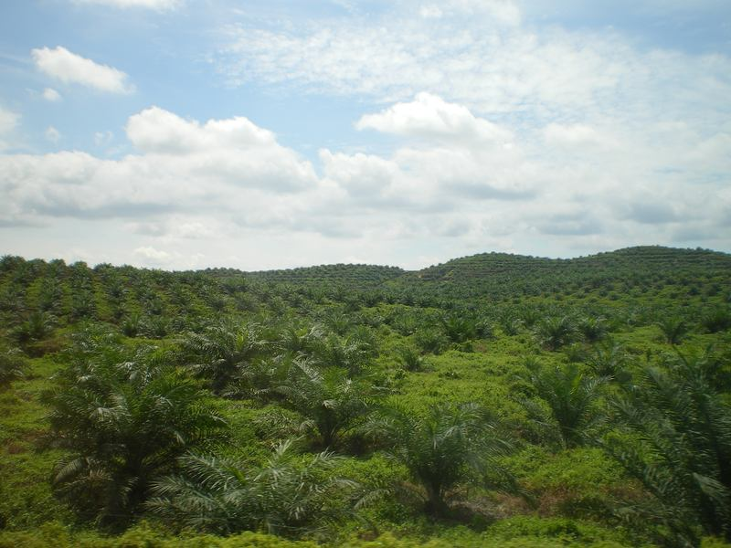 Palm oil plantation in East Malaysia