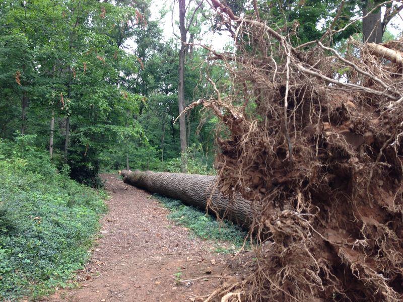 Fallen Tree at Cora Hartshorn Arboretum