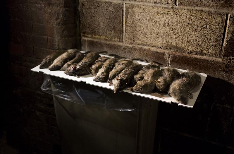 "The NYC Department of Health and Mental Hygiene is going after ""rat reservoirs"" to combat infestations."