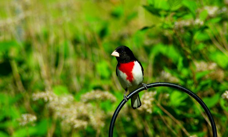 The Rose-Breasted Grosbeak, one of the birds whose song is part of our challenge