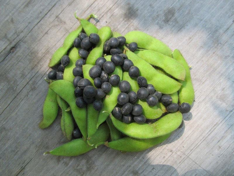 Panther edamame in fresh, edible form and as mature seed
