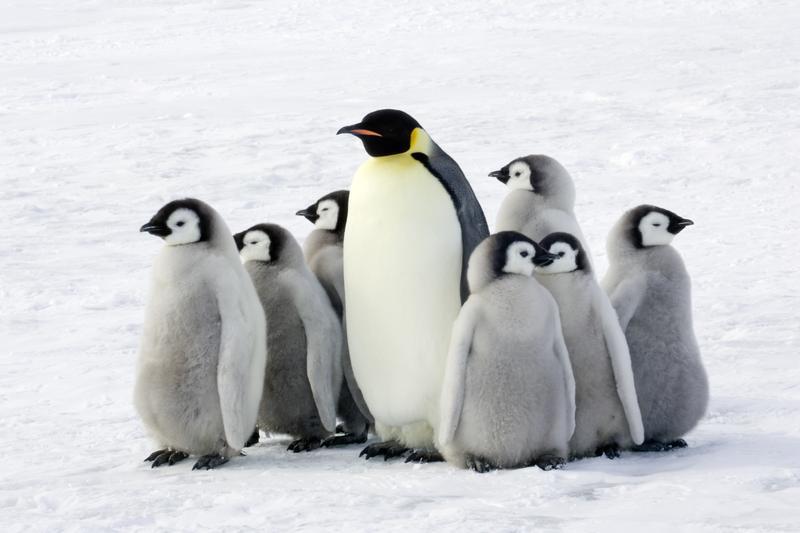 Emperor penguin with children, Antarctic.