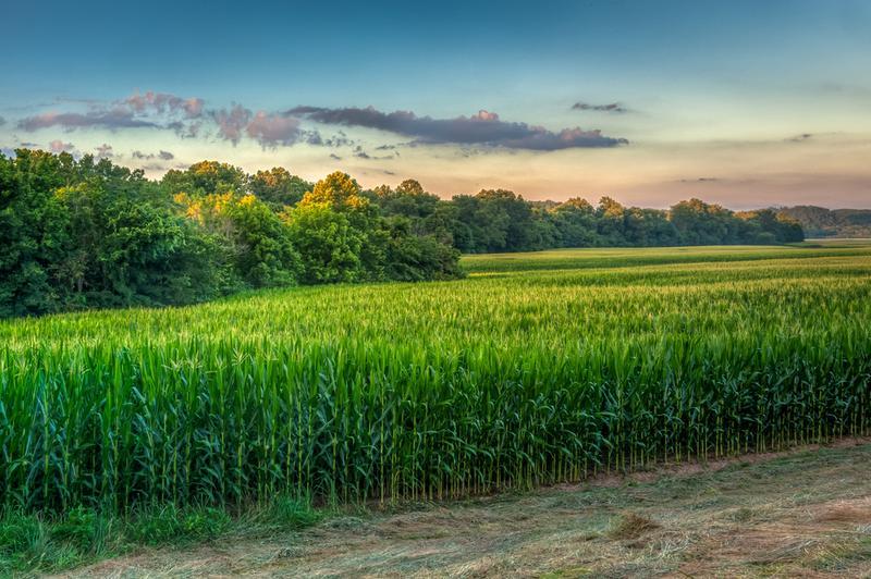 A corn field in Missouri.