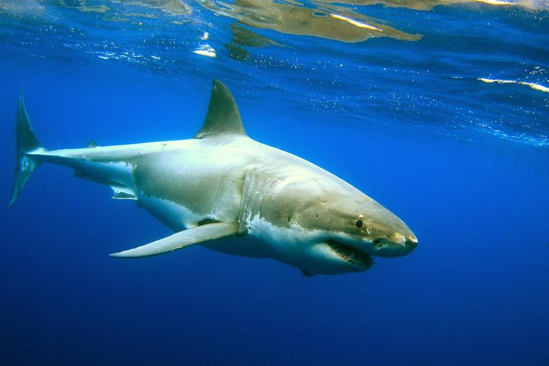 The great white shark population is growing in the waters off the NY and NJ coasts.