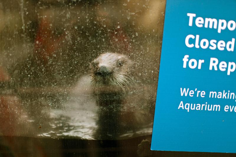 A sea otter swims over for a closer look at the New York Aquarium which is set for a partial reopening on May 25.