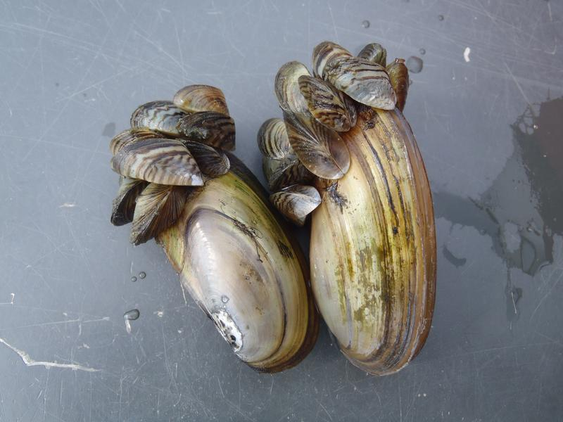Invasive Zebra Mussels Smothering Native Mussels