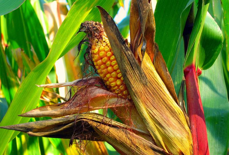 Nearly one-third of all U.S. cropland is used for corn. Growing corn uses a lot of water and fertilizer, and some of these production techniques, coupled with the effects of climate change, are threatening U.S. corn production. (Chris Bartnik/Flickr)