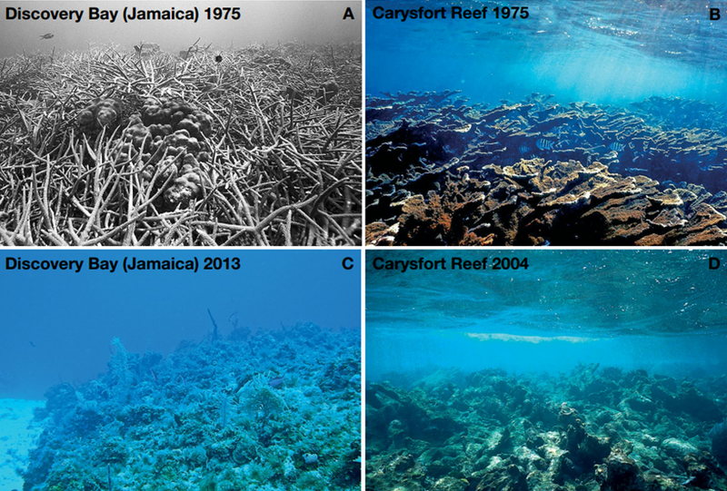 Figure 2 from the new report: Phase shift from dominance by corals to dominance by macroalgae on the shallow fore-reefs in the northern Florida Keys and north  coast of Jamaica. (A) Discovery Bay, Jamaica in 1975 and (C) the same location in 2013. (B) Carysfort Reef within the Florida Keys National Marine  Sanctuary in 1975 and (D) in 2004. (A, B, D by Phillip Dustan, and C by Robert Steneck)