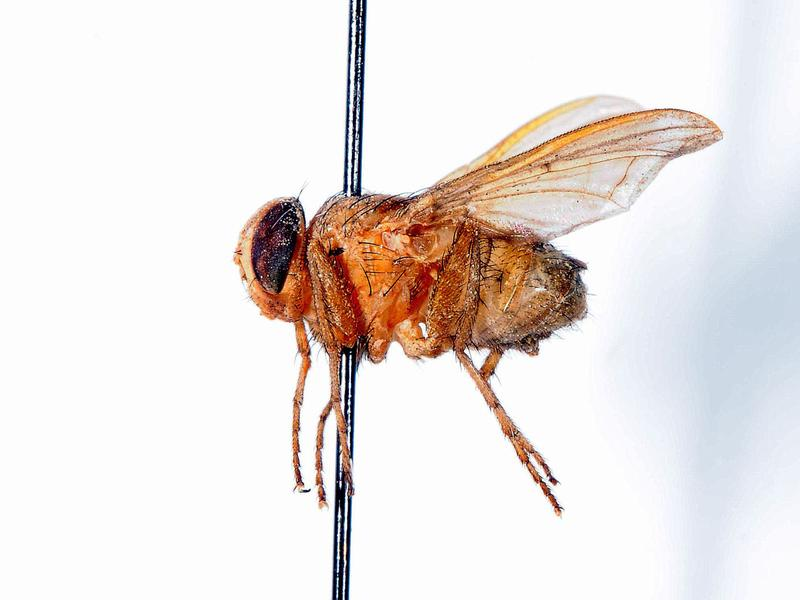 If you were a cricket, this little fly would make you very nervous.
