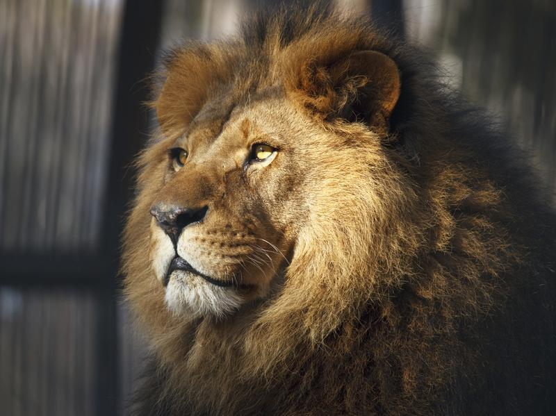 Veterinarian Vint Virga says that animals in zoos, like this lion, need to have a bit of control over their environment.