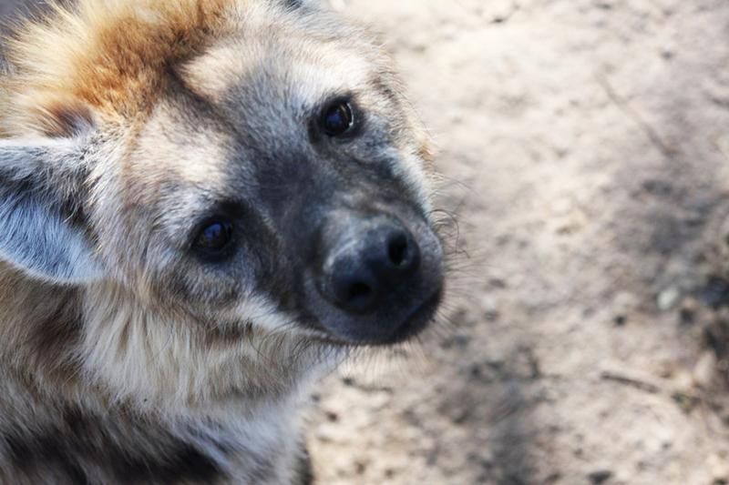 After 30 years, funding for the captive hyena research colony - the only of its kind in the world - has run out. (Courtesy of Frederic Theunissen)