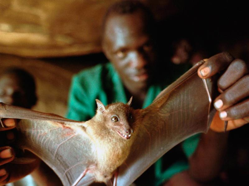 The usual suspect: Bats harbor dozens of deadly viruses, such as rabies and influenza. Several studies suggest that bats may also carry Ebola.