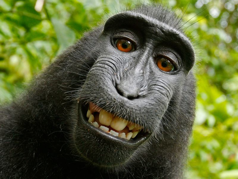 This 2011 image captured by a cheeky black macaque after turning the tables on a photographer who left his camera unmanned has ignited a debate over who owns the photo.