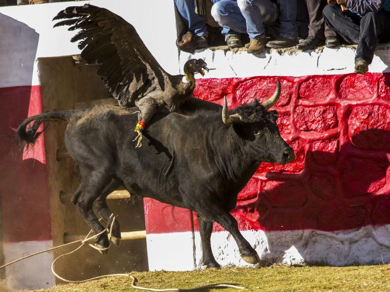 In Peru's annual Blood Festival, a condor is tied to the back of a bull and tries to gouge its eyes, while the bull attempts to shake off the giant bird. The event is popular in many parts of the country, but conservationists say this threatens a bird already at risk.