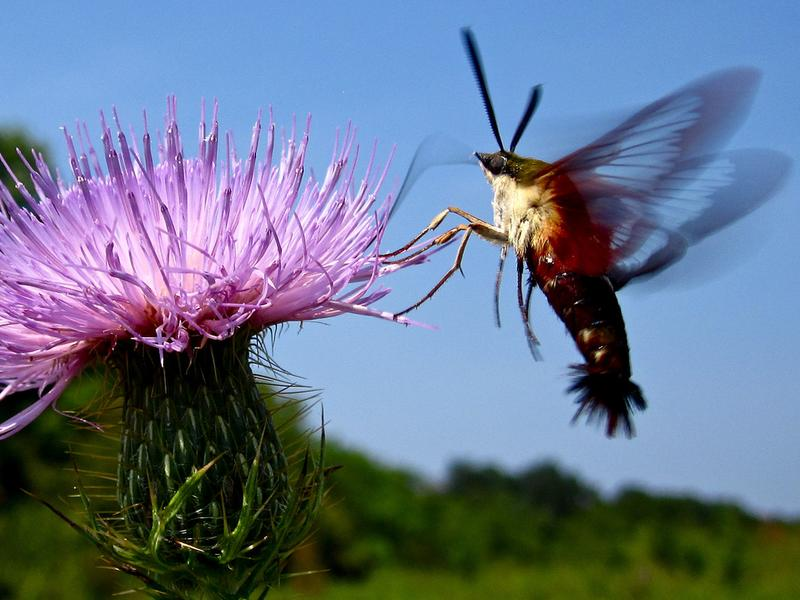 The hummingbird moth — <em>Hemaris thysbe.</em>