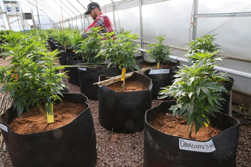 A worker cultivates a special strain of medical marijuana known as Charlotte's Web inside a greenhouse, in a remote spot in the mountains west of Colorado Springs, Colo., Feb. 7, 2014. (Brennan Linsley/AP)