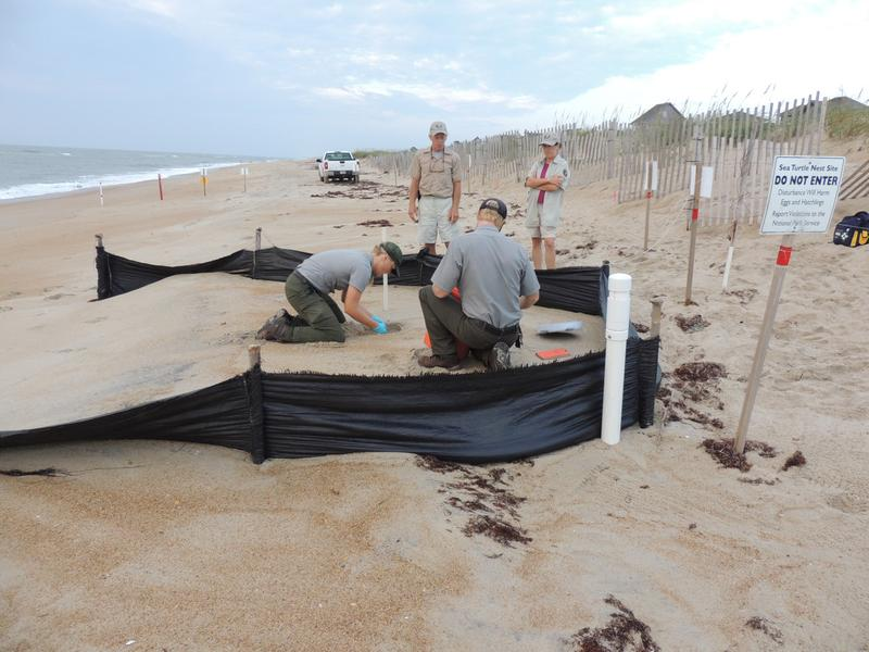 When a turtle nest is found, park rangers excavate the nest, inventory the eggs and mark out the nests with a 30-foot square enclosure. (National Park Service)