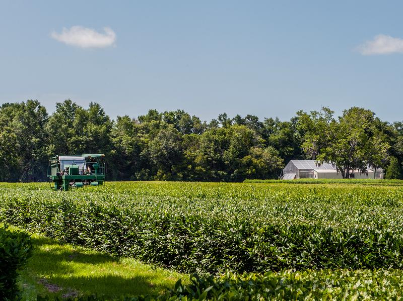 "The ""Green Giant"" mechanical tea harvester, one of only a few in the world, does the manual work of 500 people."