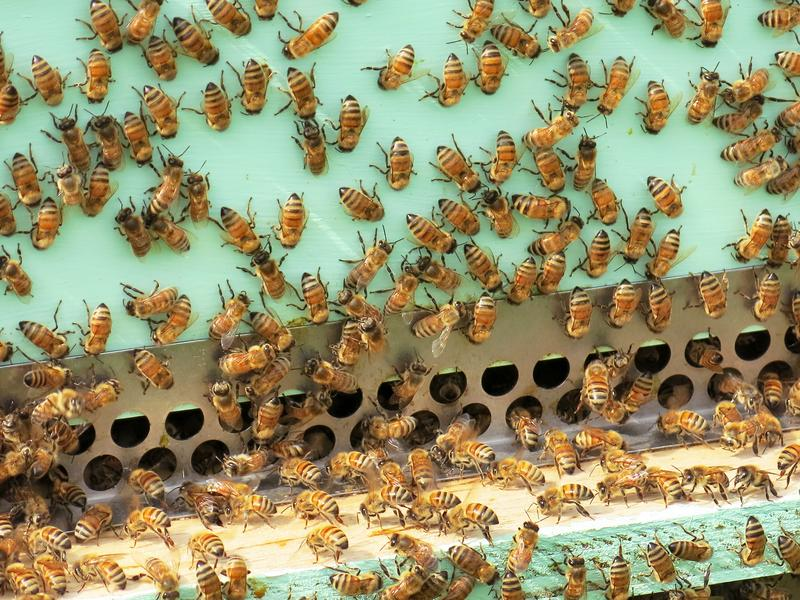 The healthy bees managed by Jonathan Garaas are checked every two weeks for signs of a possible mite infestation.