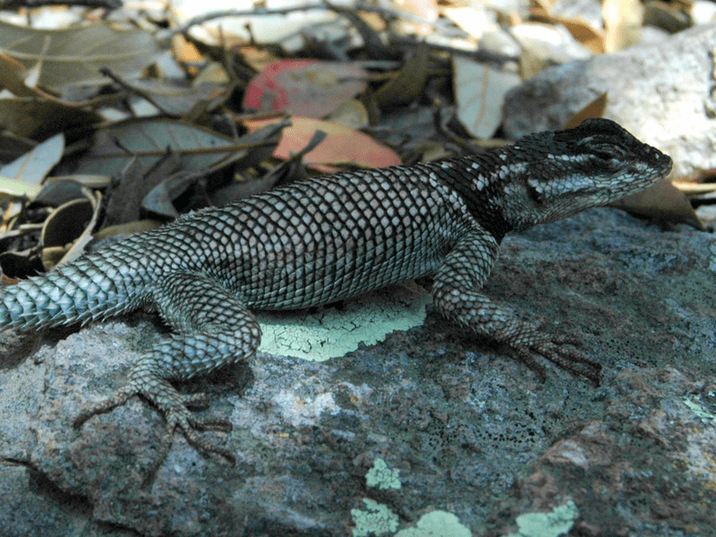 The spiny lizard, like other lizards, relies on sunshine and shade to regulate its body temperature. That makes the animals particularly vulnerable to climate change.
