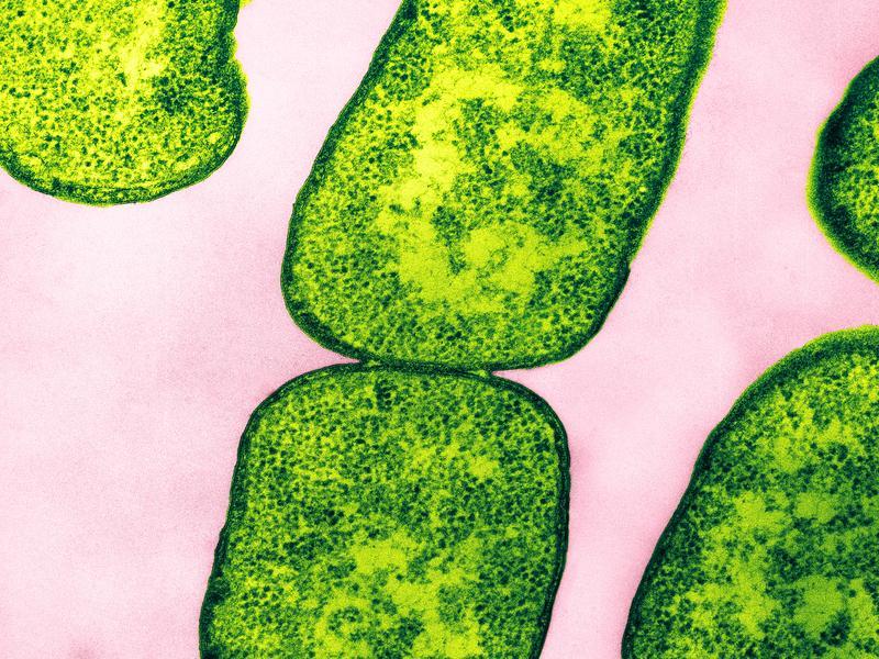 "Color enhanced Transmission Electron Micrograph (TEM) of <em>E. coli</em> bacteria. Magnification: 132,000 at 8 x 10""."