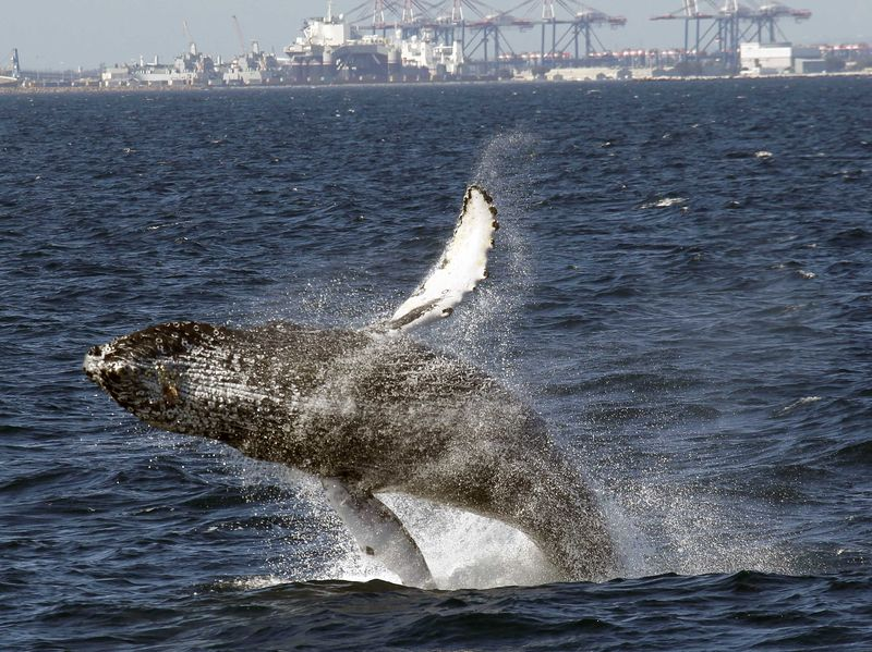 A humpback whale breaches off the coast of Long Beach, Calif., in 2015.