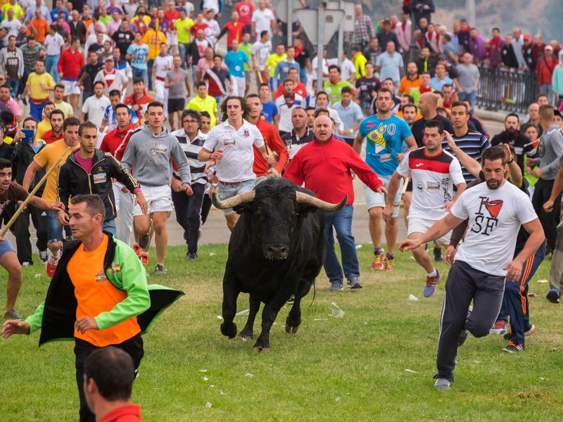 Men chase a bull through Tordesillas, Spain, on Tuesday as part of a festival that dates to medieval times. The men traditionally spear the bull to death at the end of the chase, but the regional government banned the killing of the bull this year.