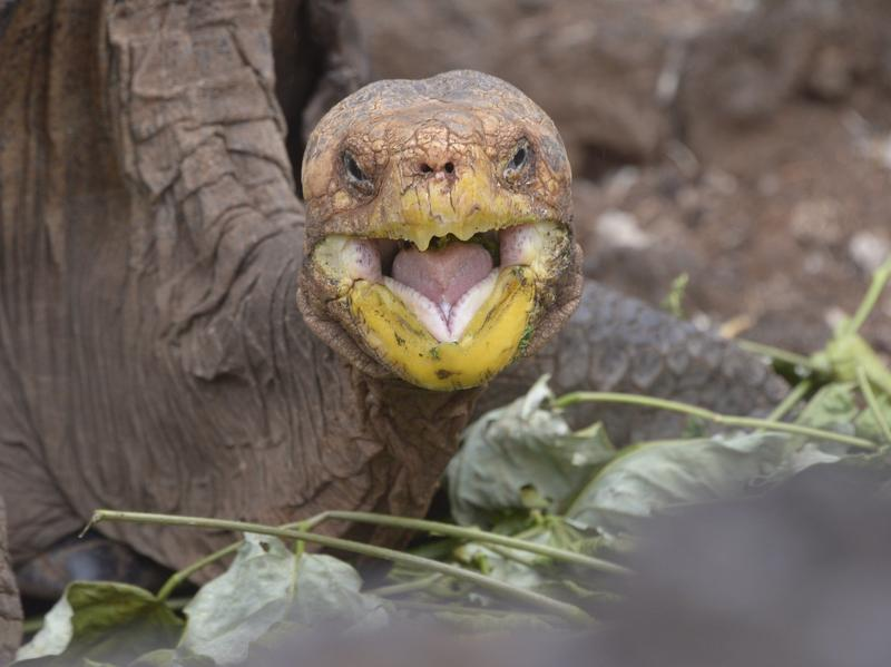 Diego, a tortoise of the endangered Chelonoidis hoodensis subspecies from Española Island, is seen in a breeding centre at the Galapagos National Park on Santa Cruz Island.