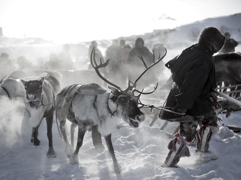 Nenet men hold a reindeer race.