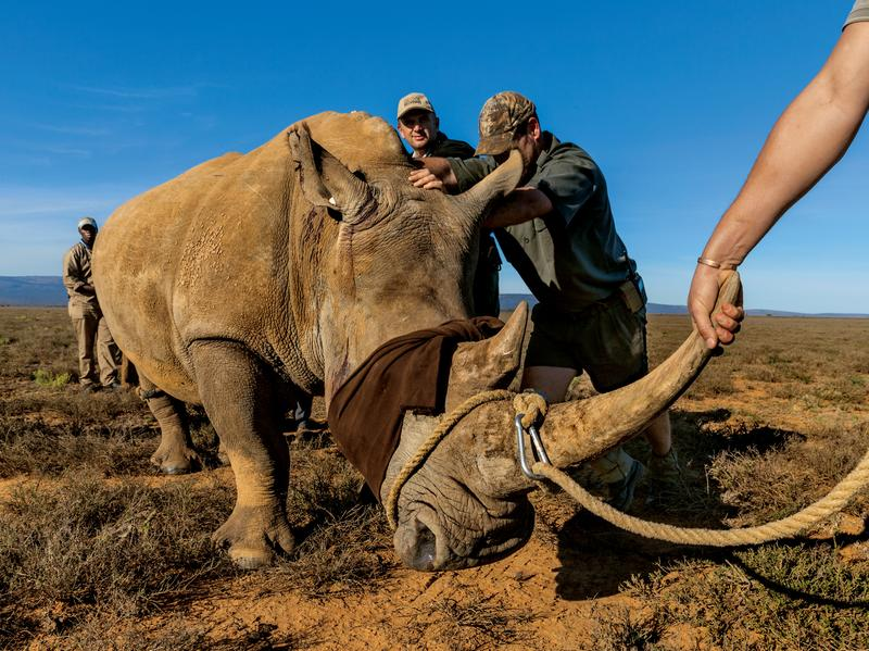 A game rancher near Port Elizabeth who couldn't afford the high cost of protecting his rhinos from poachers sold this one to a more secure operation. The rhino, blindfolded and wearing earplugs to calm it, will be sedated and accompanied by a veterinarian during the 20-hour truck journey to its new home.