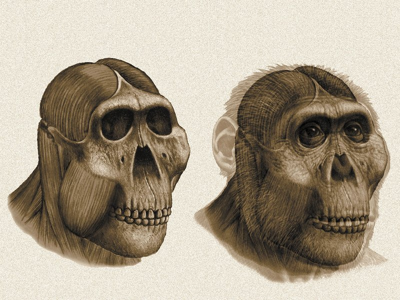 A reconstruction of the head of <em>Paranthropus boisei</em>, based on a skull found at Olduvai Gorge, Tanzania, in 1959 by Mary Leakey. Initial analysis of the skull and fossilized teeth led scientists to think this ancestor ate nuts. More advanced analysis in later years revealed that a more diverse diet that included grasses.