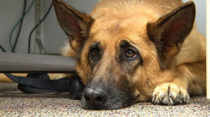 This photo taken Feb. 18, 2014 shows Lexy, a therapy dog at Fort Bragg, N.C. (Alex Sanz/AP)
