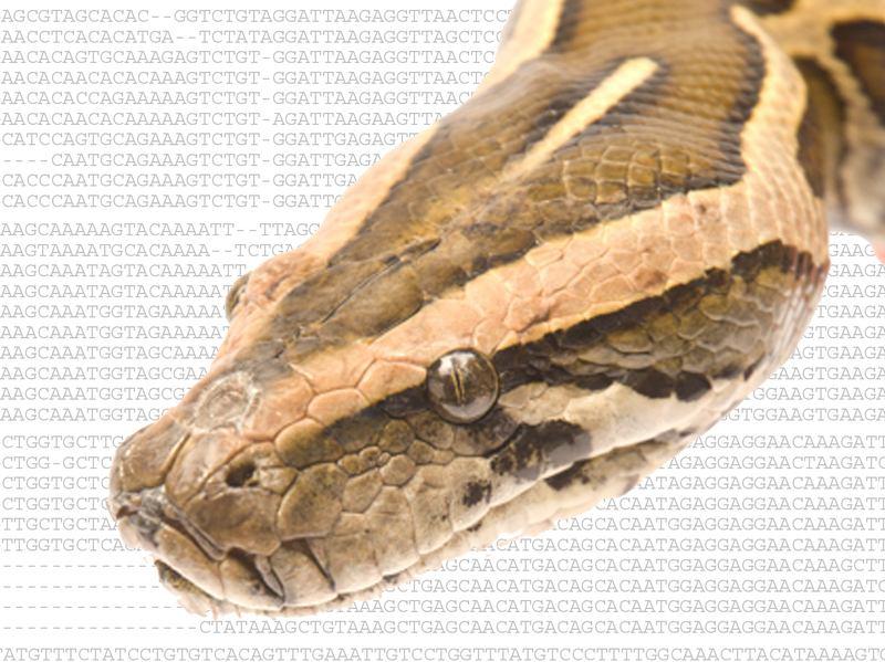 Burmese python and the DNA sequence responsible for limb loss.