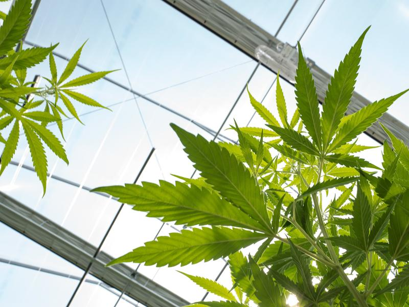Cannabis plants grow in the greenhouse at Vireo Health's medical marijuana cultivation facility on Aug. 19 in Johnstown, N.Y.