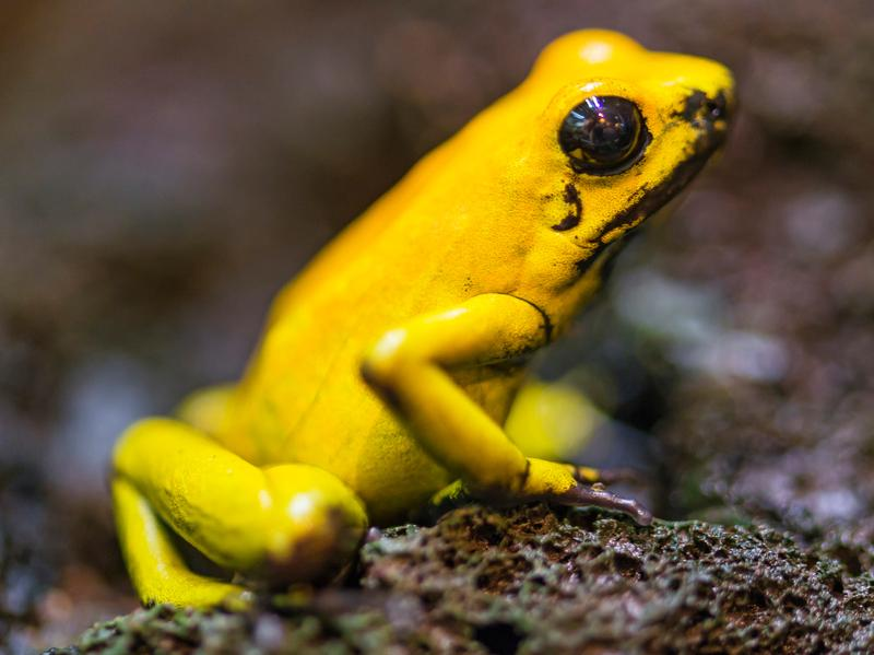 The skin of the golden poison dart frog, <em>Phyllobates terribilis</em>, secretes a deadly poison that might lead to a better understanding of how to treat malfunctions of the human nervous system.