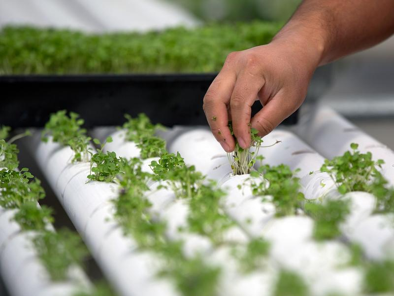 """Baby basil is planted in PVC piping through which nutrient-infused water flows at regular intervals at a hydroponics farm in Nevada. This week, the National Organic Standards Board is set to vote on whether foods grown hydroponically can be sold as """"certified organic."""""""