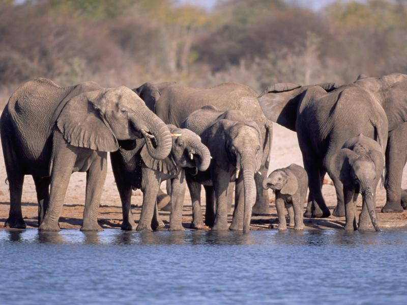 In Zimbabwe's Hwange National Park, elephants drink from a watering hole.