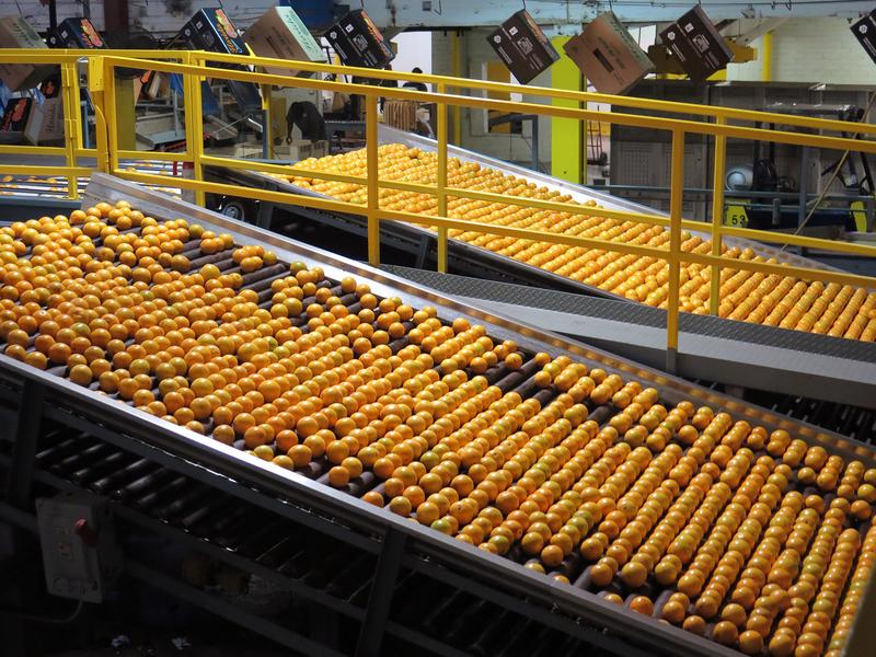 Hamlin oranges are washed, graded and packed for shipment at the Dundee Citrus Growers Association packing house in Lake Hamilton, Florida.
