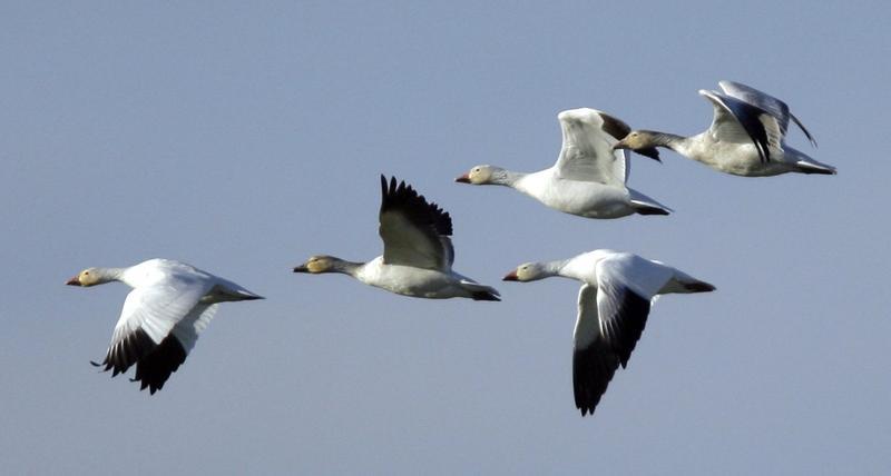 Snow geese head toward a farm field Conway, Wash., in 2009. (Elaine Thompson/AP)