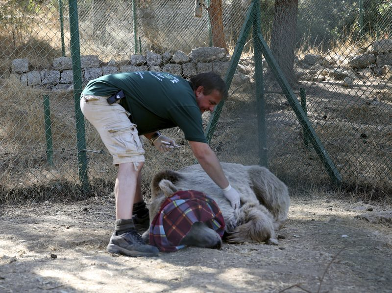 A caretaker examines a bear named Balou to be sure he's fully sedated before he's moved from a center near Amman, Jordan, to the al-Ma'wa wildlife reserve in northern Jordan on Oct. 2. The bear and other animals were released into the reserve run by the Princess Alia Foundation. The animals were rescued from abusive conditions.