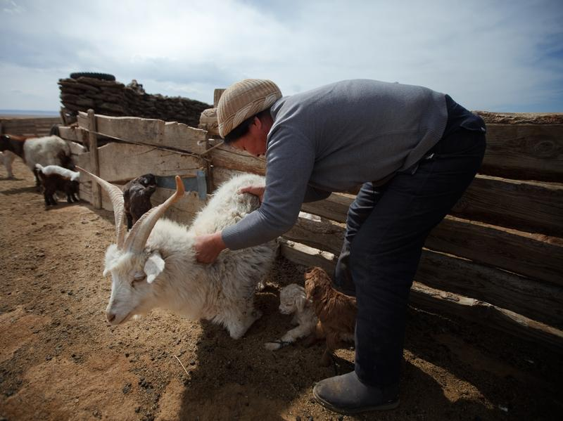 Thirty years ago, when the grass grew tall, cashmere goats made up 19 percent of all livestock in Mongolia. Since then, their numbers have skyrocketed to make up 60 percent today.