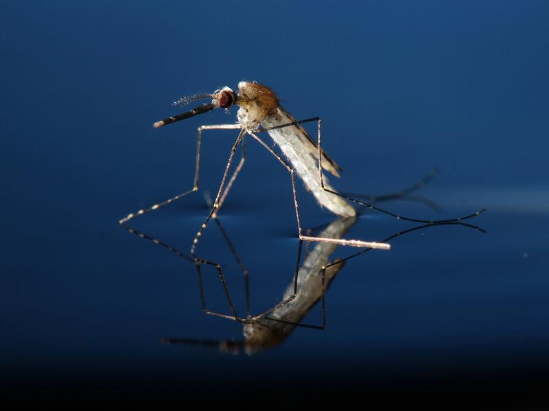 After reaching adulthood, a mosquito emerges from the water looking for trouble.