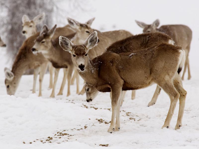 A group of mule deer in Colorado in 2008.