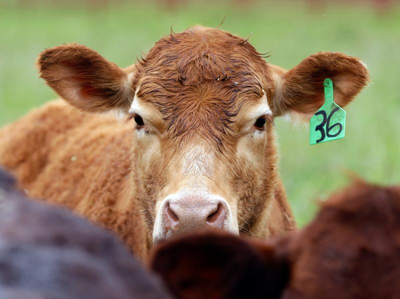 Antibiotic- and growth-hormone-free cattle gather at a farm in Yamhill, Ore. Despite farmers pledging to reduce or stop antibiotics use, a new report finds that sales of antibiotics for use on farms are going up.