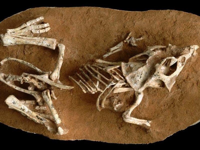 A <em>Protoceratops </em>hatchling fossil
