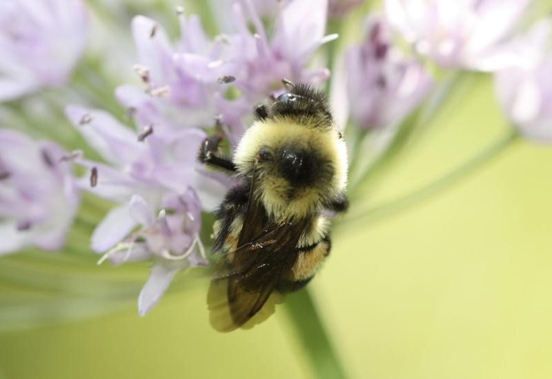 This 2012 photo provided by The Xerces Society shows a rusty patched bumblebee in Minnesota. (Sarina Jepsen/The Xerces Society via AP)
